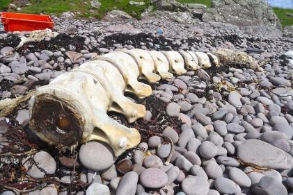 Whale backbone