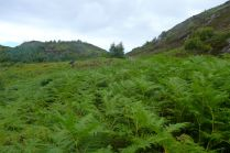Bracken thicket