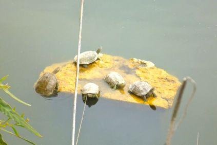 Letoon turtles